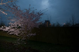 http://peterwaterschoot.com/files/gimgs/th-14_11,  Japanese Garden, Blossom & Fence.jpg